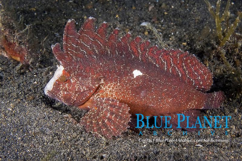Cockatoo Waspfish, Ablabys taenianotus, Lembeh Strait, North Sulawesi, Indonesia,