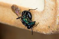 Spinnen-Grabwespe, Spinnengrabwespe, hat eine Goldwespe (Trichrysis cyanea) überwältigt, Töpfer-Grabwespe, Töpfergrabwespe, Töpferwespe, Holzbohrwespe, Grabwespe, Trypoxylon cf. figulus, organ pipe mud dauber, digger wasp, Crabronidae, Grabwespen, digger wasps