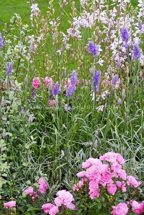 Pink Rose Rosa 'The Fairy' ground cover roses, Lavandula x intermedia 'Walburton's Silver Edge' = 'Walvera' lavender herb in flower + Gaura lindheimeri 'Karalee White' = 'Nugauwhite', garden combination, garden use. Pink, white and blue lavender color theme