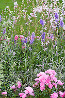 Pink Rose Rosa 'The Fairy' ground cover roses, Lavandula x intermedia 'Walburton's Silver Edge' = 'Walvera' lavender herb in flower + Gaura lindheimeri 'Karalee White' = 'Nugauwhite', garden combination, garden use. Pink, white and blue lavender color theme