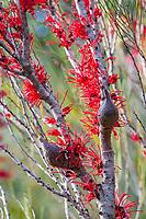 Hakea orthorrhyncha, Bird beak Hakea Australian shrub with seed pods and  winter flowers; Wild Ridge Organics