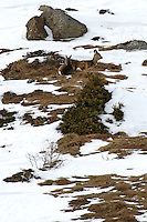 Two young roe deer laying close together in the grass surrounded by snow and stones