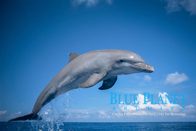 Bottlenose Dolphin Tursiops truncatus Honduras