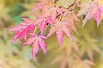 WA, Bellevue, Autumn Leaves