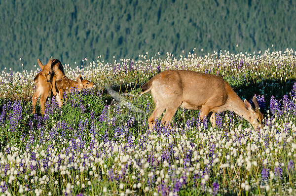 Columbian black-tailed deer (Odocoileus hemionus columbianus) doe grazes while her young fawns play among the wildflowers--lupine and bistort in subalpine meadow.  Pacific Northwest.  Summer.
