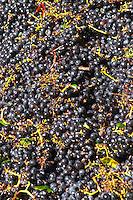 Bunches of ripe grapes. Chateau Paloumey, Haut Medoc, Bordeaux, France.