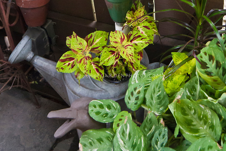 Watering can planter container using recycled metal can as a pot, with coleus, next to duck ornament in garden