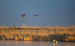 A pair of Canada Geese flying above the cattail marshes at the Lee Metcalf Wildlife Refuge in wester Montana in the Bitterroot Valley.