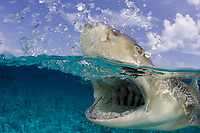 Lemon shark (Negaprion brevirostris) at the surface, Bahamas. Split shot, over under, Caribbean, Atlantic