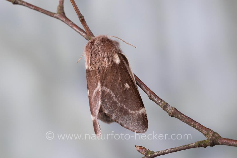 Wollafter, Frühlings-Wollafter, Birkennestspinner, Weibchen, Eriogaster lanestris, Bombyx lanestris, Small Eggar, female, bombyx laineux, laineuse du cerisier