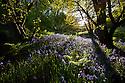 Bluebells {Endymion nonscriptus} flowering in deciduous woodland, Peak District National Park, Derbyshire, UK. May.
