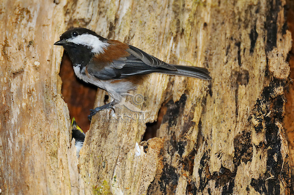 Chestnut-backed Chickadee (Poecile rufescens) nesting in old snag in old growth forest in Olympic National Park rain forest, WA.  June.