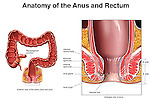 Anatomy of the Anus and Rectum