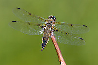 Four-spotted Skimmer (Libellula quadrimaculata) Dragonfly - Male, Ward Pound Ridge Reservation, Cross River, Westchester County, New York