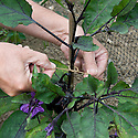 Supporting a growing aubergine plant by tying in the main stem to a bamboo cane, mid July.
