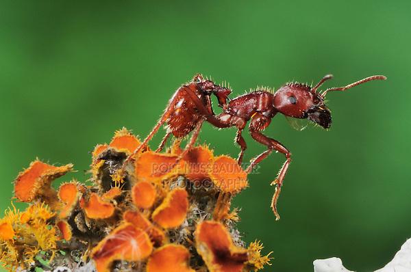 Red Harvester Ant (Pogonomyrmex barbatus), adult on lichen, Laredo, Webb County, Texas, USA