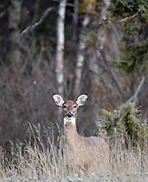 Whitetail deer feeding on grass near forest.