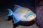 queen triggerfish facing right