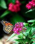 Orange Monarch butterfly sitting on a pink pentas plant
