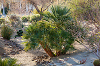 Chamaerops humilis, Mediterranean fan palm along gravel dry desert stream arroyo drainage swale for storm water harvest and percolation in resilient drought tolerant garden at Palm Springs Art Museum in Palm Desert, California