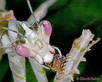 "0406-07nn  Spiny Flower Mantis (#9 Mantis) - Pseudocreobotra wahlbergii ""Female"" - © David Kuhn/Dwight Kuhn Photography"