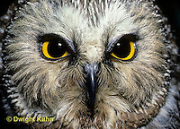 OW02-191z  Saw-whet owl - showing eyes and beak - Aegolius acadicus