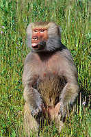 Hamadryas baboon (Papio hamadryas).  The smallest of the baboon species.