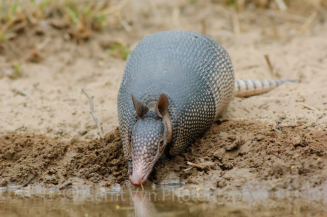 Nine-banded Armadillo (Dasypus novemcinctus) drinking from desert water hole. Willacy County, Texas. March.