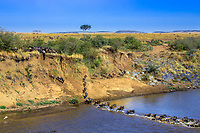 Wildebeest herd in the savanna crossing the Mara River during the great migration between Kenya and Tanzania, in Masai Mara national park, Africa
