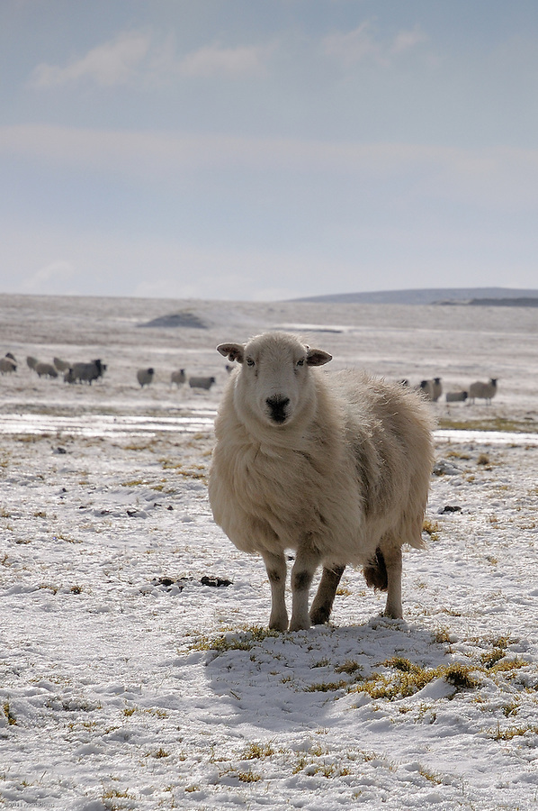 Naturally wrapped up against the snows this sheep stands on the old WWII airfield on Bodmin Moor. This is a surprisingly desolate but beautiful spot, unlike anywhere else in the South West of England, yet only a couple of minutes drive off the A39 Atlantic Highway.