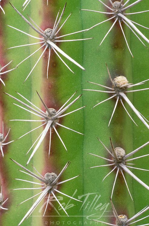 Octopus Cactus, Desert Botanical Museum, Phoenix, Arizona