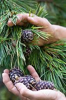 Zirbenzapfen-Ernte, Ernte, Sammeln von Zirbenzapfen, Zapfen-Ernte, Zirbel-Kiefer, Zirbelkiefer, Zirbel, Zirbe, Arve, Zapfen, Zirbenzapfen, Pinus cembra, Arolla Pine, Swiss pine, Swiss Stone Pine, Austrian stone pine, Stone pine, cone, cones, Le pin cembro, le pin des Alpes, l'arol, l'arole, l'arolle, l'arve, l'auvier, le pin arolle, le tinier