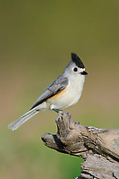 Adult Black-crested Titmouse (Baelophus atricristatus). Hidalgo County, Texas. March.