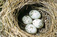 Sumpfrohrsänger, Ei, Eier, Gelege im Nest, Sumpf-Rohrsänger, Rohrsänger, Acrocephalus palustris, marsh warbler