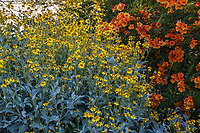 Encelia farinosa Brittlebush flowering California native perennial at South Coast Research and Extension Center; University of California ANR