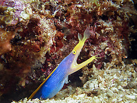 ribbon eel, Philippines, Batangas, Rhinomuraena quaesita