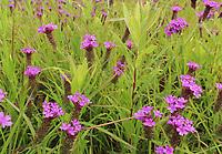 Purple wildflowers in a prairie in spring, America.