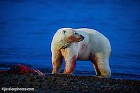 Polar Bear with a scrap of a whale meat. Alaska Polar Bear Photography Prints
