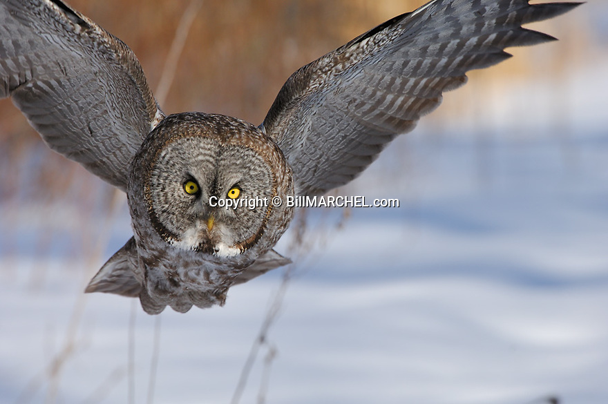 00830-048.16 Great Grey Owl in flight on silent wings with forest in background.  Predator, raptor, bird of prey.  H9F1