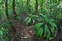 Lowland rainforest understory vegetation dominated by Cyclanthaceae plants. Osa Peninsula, Costa Rica. May.