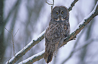 Great Gray Owl (Strix nebulosa). Ontario, Canada.