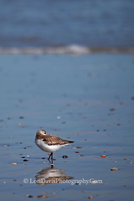 Q12 Sanderling With Reflection