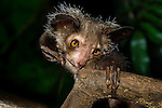 Aye-aye (Daubentonia madagascariensis) (Endangered) extracting beetle grubs from wood. Endemic to Madagascar. Photographed under controlled conditions at Durrell Wildlife Conservation Trust, Jersey, UK.