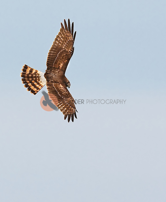 Female Northern Harrier hawk in flight,image is vertical