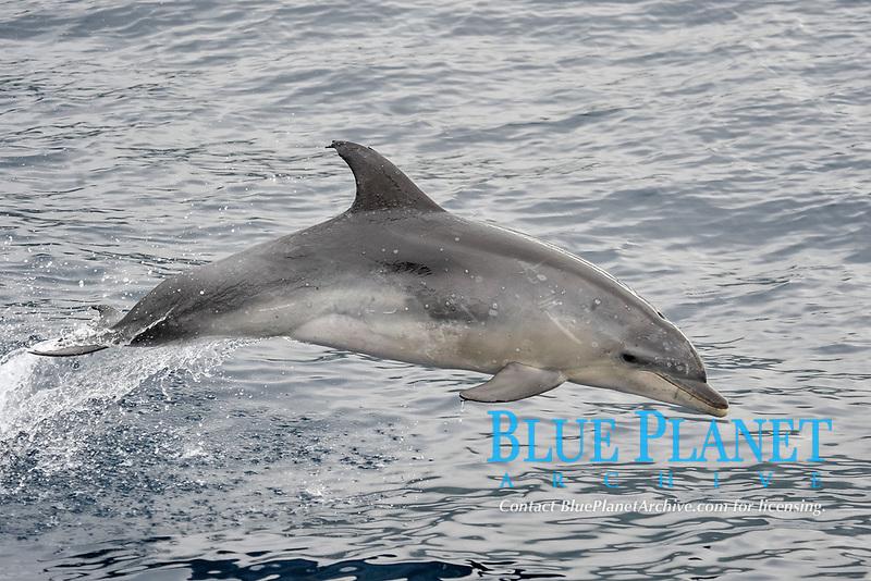 Common Bottlenose Dolphin, Tursiops truncatus, breaching, south of Pico island, Azores, Atlantic Ocean