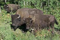 Plains Bison eating their way through the underbrush