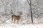 White-tailed doe at the edge of a winter forest.