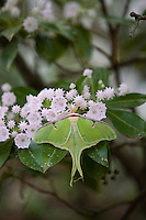 Luna Moth on mountain Laurel wildflowers, Pine Barrens, New Jersey