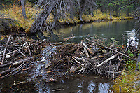 North American Beaver (Castor canadensis) transporting branches (for winter food) back to lodge area.  British Columbia, Canada.  Fall.  In late summer/fall beavers cut down many bushes and trees and haul them back to their lodge area to store for winter food--once the pond freezes.  This beaver colony had at least four dams on this small stream.  The ponds behind the dams make it easier for the beaver to haul branches/trees (food) back to their lodge area and also gives them an escape from predators.