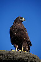 adult Galapagos hawk, Buteo galapagoensis, James or Santiago Island, Galapagos Islands, Ecuador (Eastern Pacific Ocean)